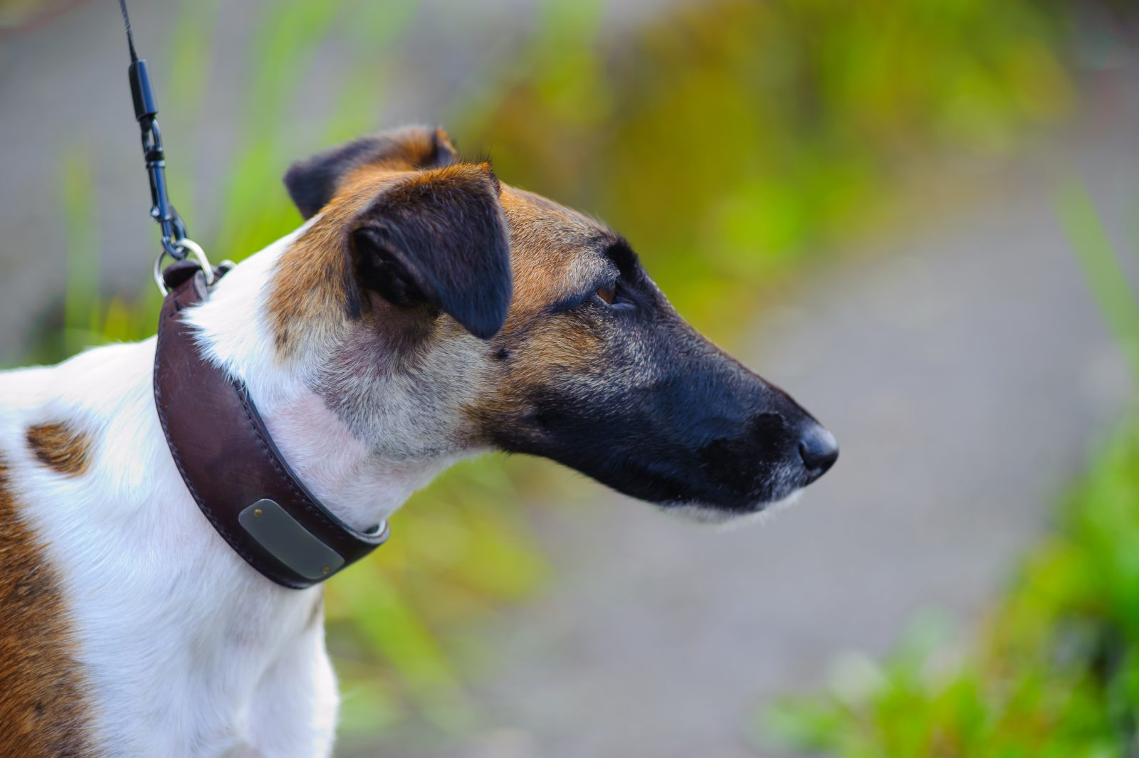 cachorro-fox-terrier-aparencia