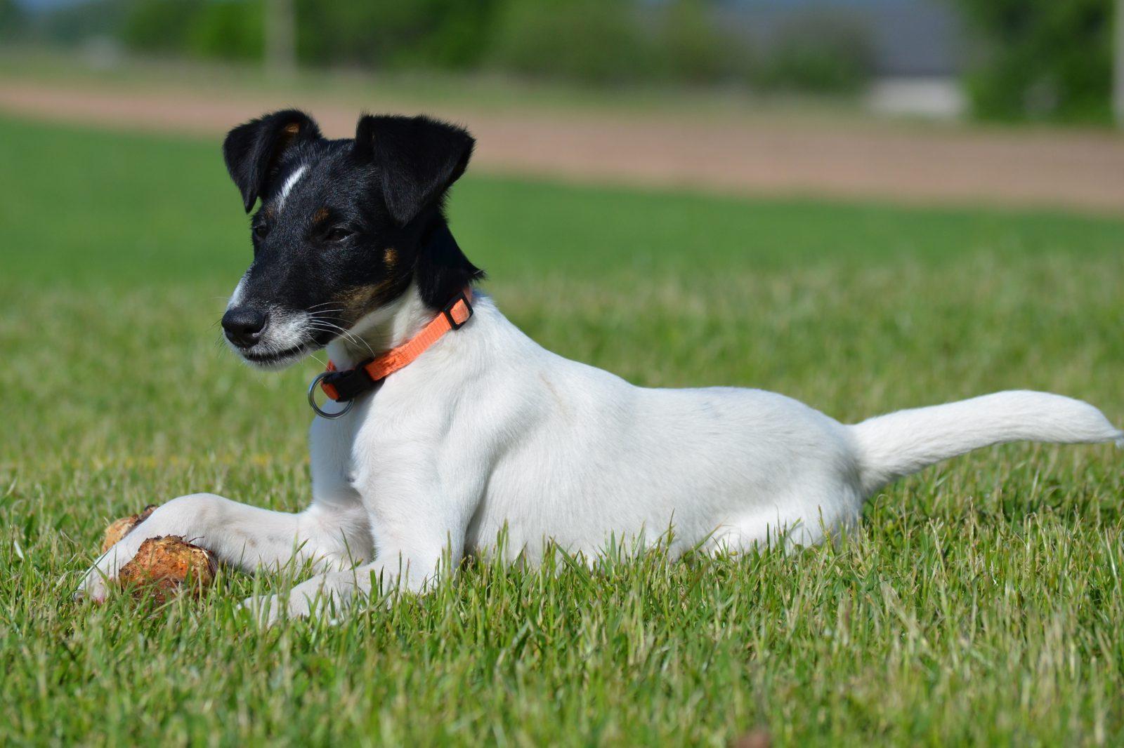 cachorro-fox-terrier-atividades