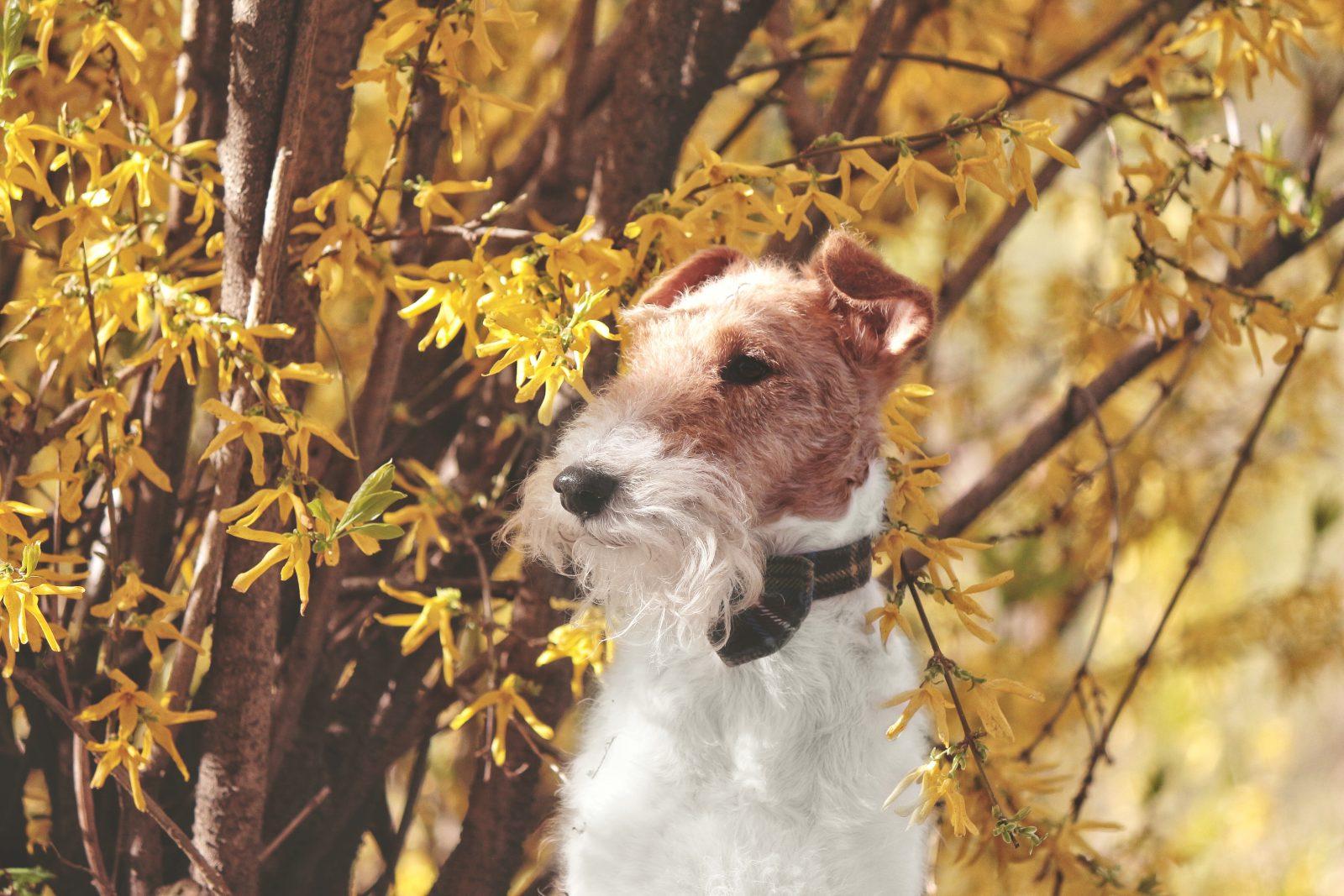 cachorro-fox-terrier-origem