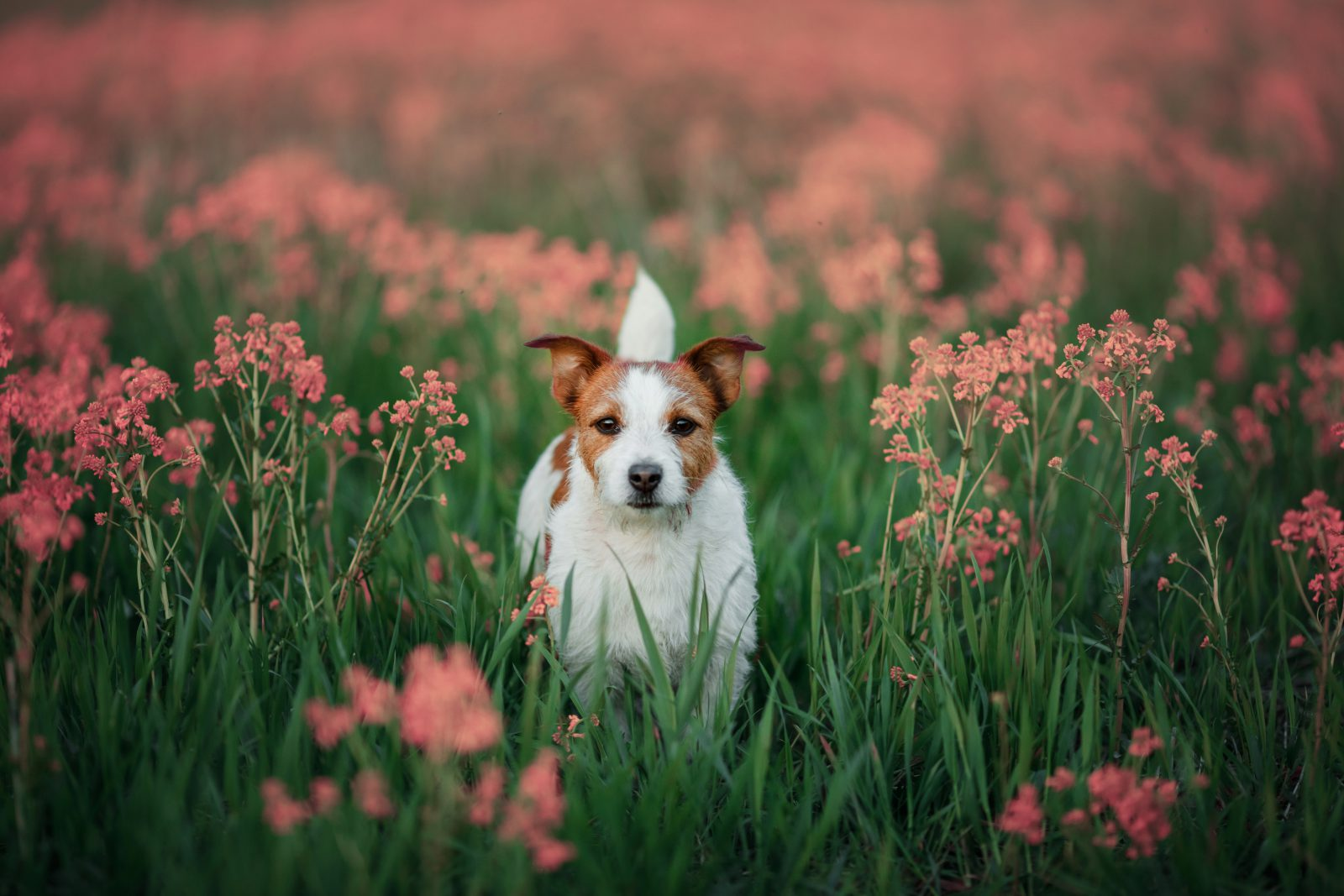 cachorro-fox-terrier-saude