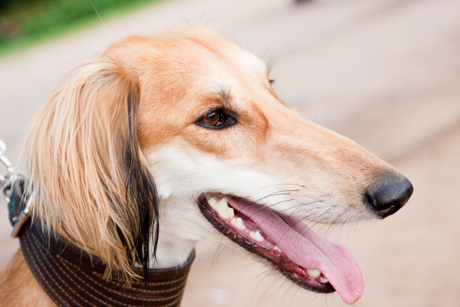 Cachorro galgo Saluki