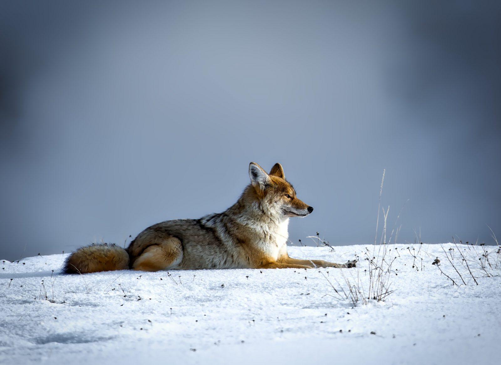 Cachorro lobo: não a legislação clara sobre a posse dessas raças.