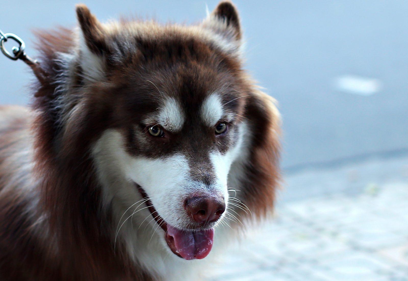 O cachorro lobo precisa de cuidados especiais.