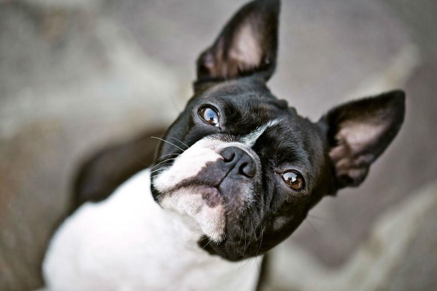 cachorro-longevidade-boston-terrier