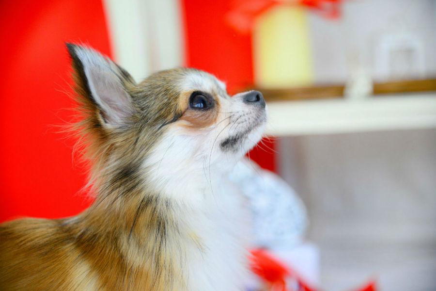 cachorro-maior-longevidade-chihuahua