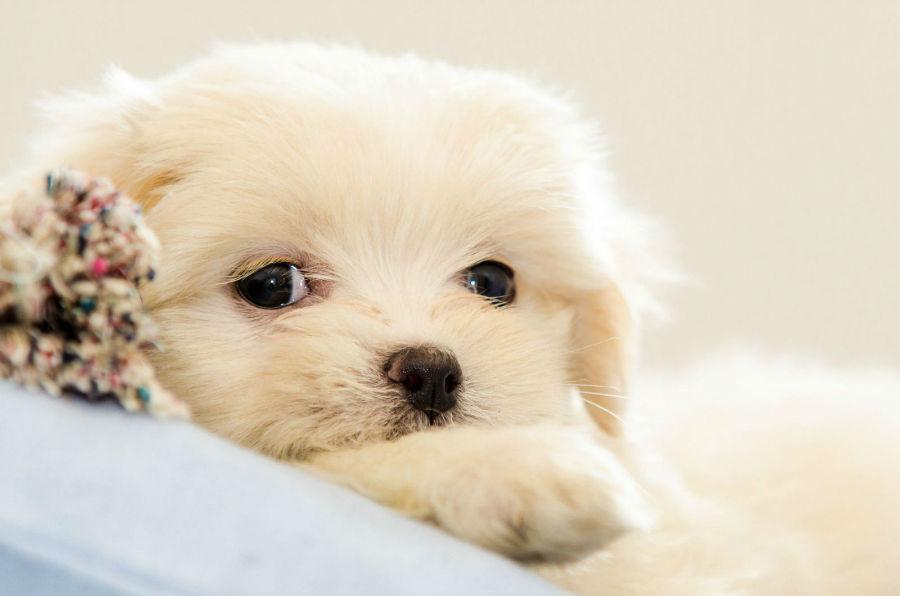 cachorro-longevidade-lhasa-apso