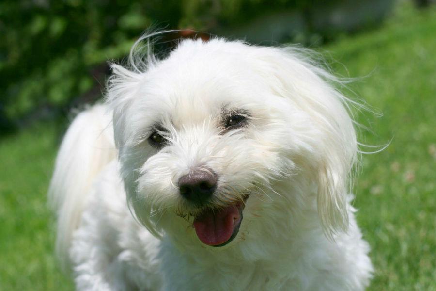 cachorro-maior-longevidade-maltes