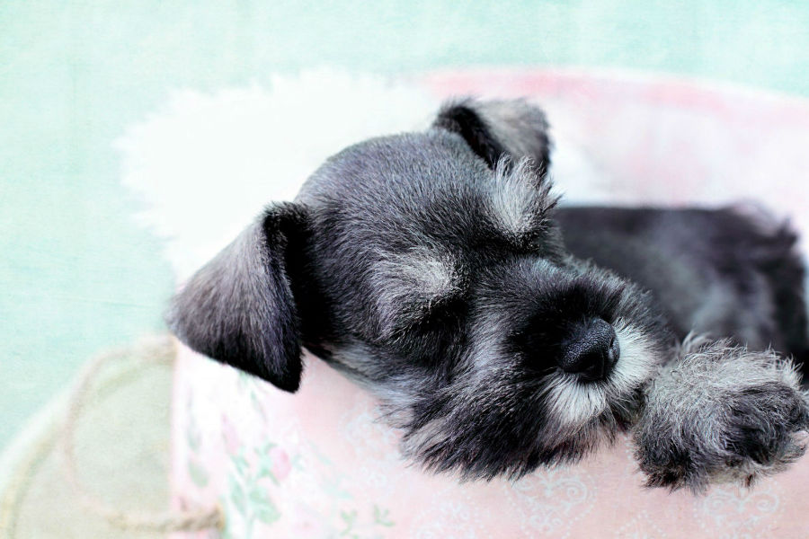 cachorro-longevidade-schnauzer
