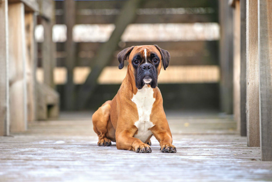 cachorro-raca-bully-espaco