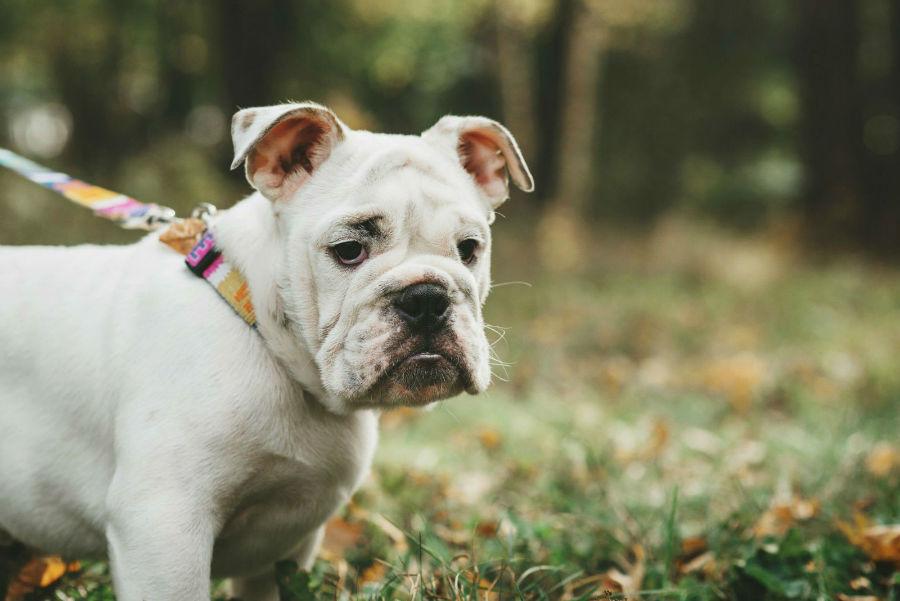 cachorro-raca-bully-legislacao