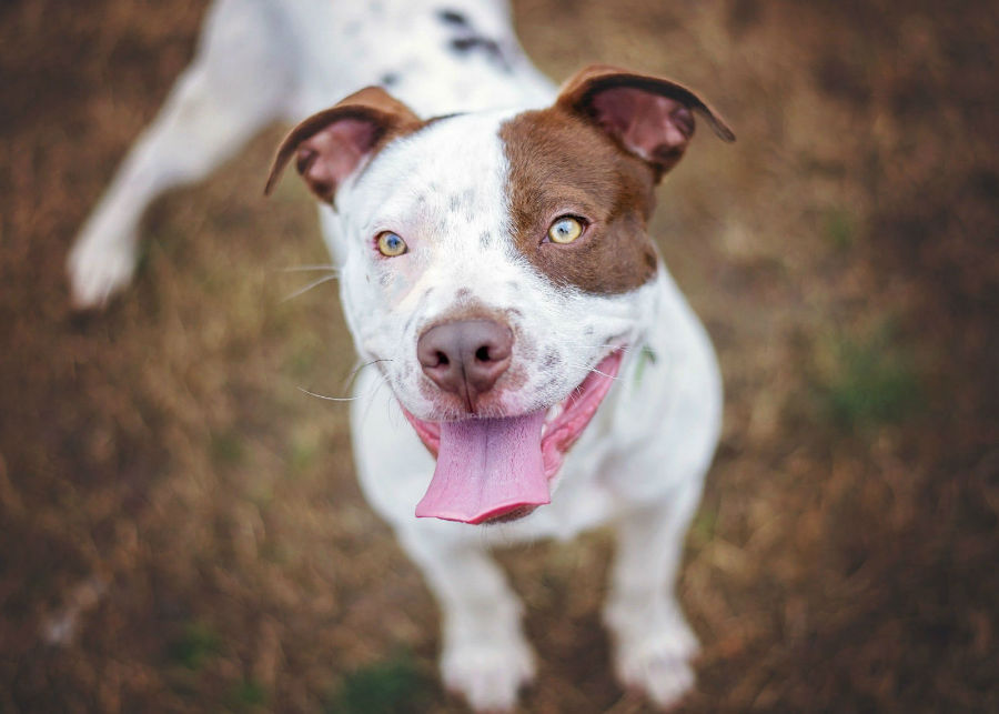 cachorro-raca-bully