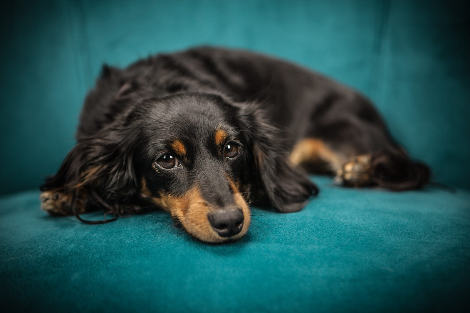 O cachorro salsicha Dachshund é um caçador astuto e corajoso.