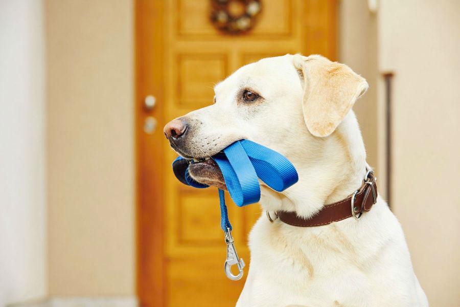 Cachorro percebe tempo: Labrador retriever esperando a sua hora de passear com o dono na rua