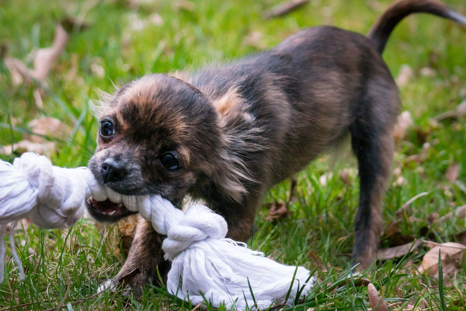 Fotos de cachorro vira lata: filhote sem raça definida brincando com brinquedo de corda maior que ele.