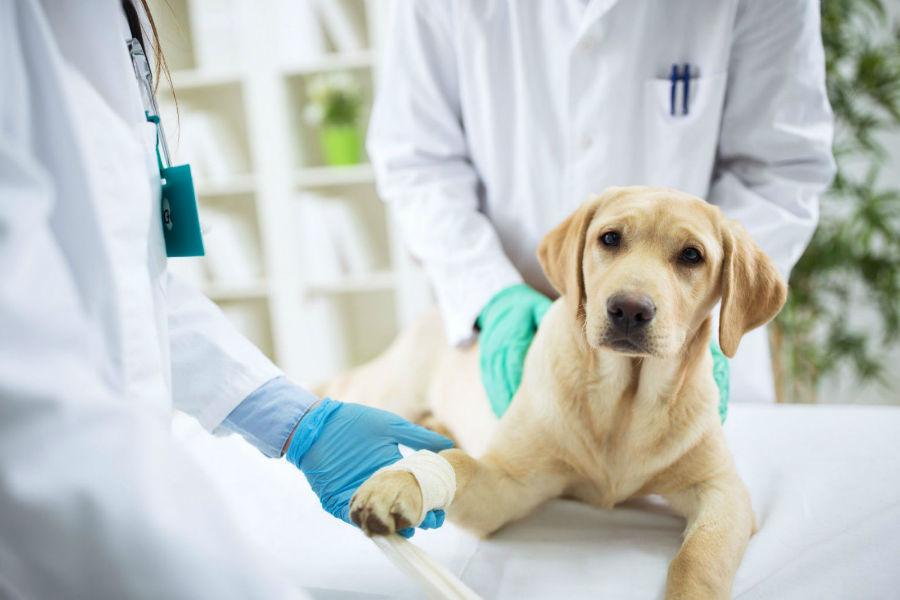 Veterinário: Labrador retriever filhote sendo examinado pós-operatório.