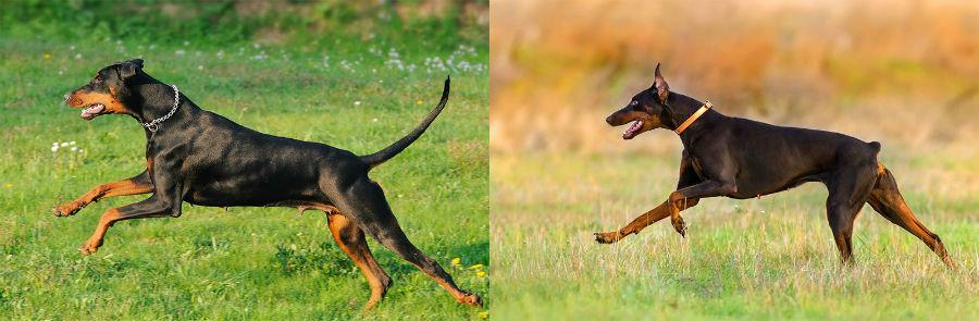 cachorros-atributos-naturais