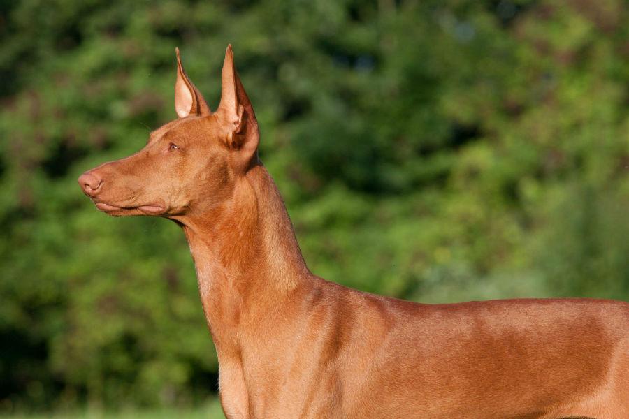 cachorros-caros-farao-egipcio