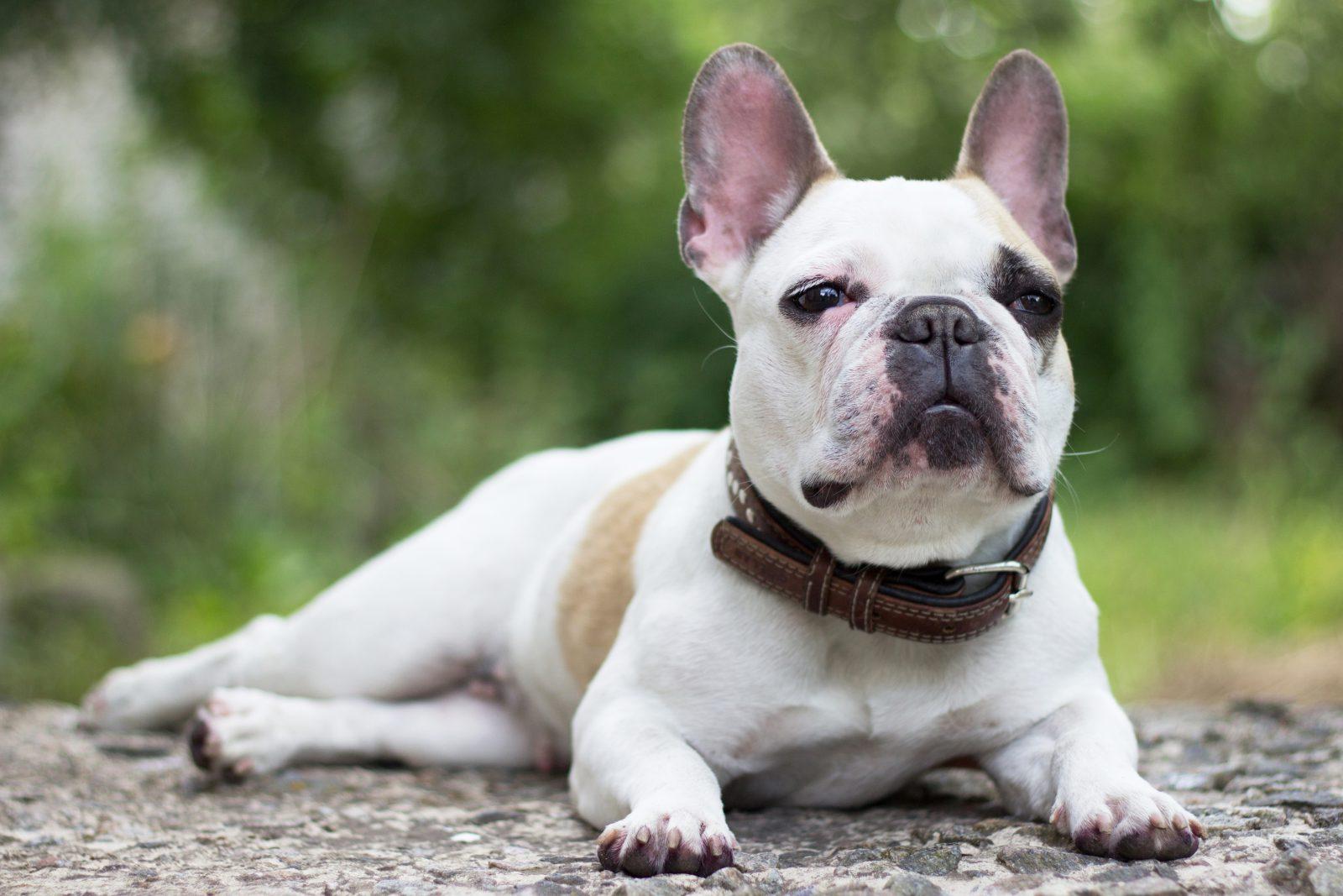 Existem muitas raças tidas como cachorros mais fedidos.
