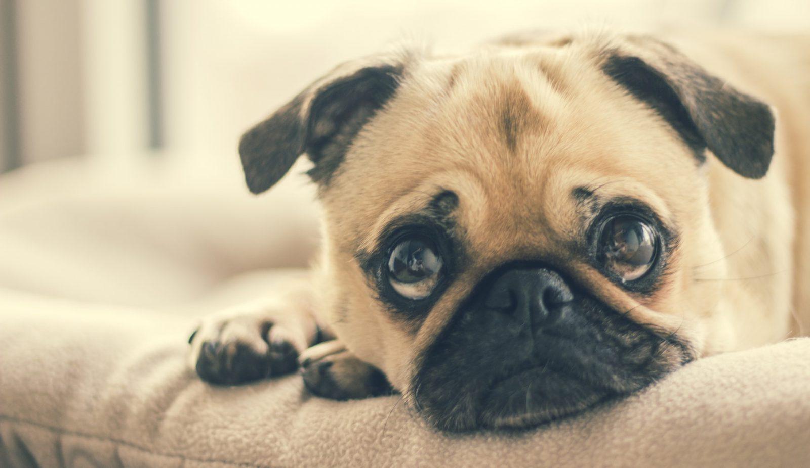 O cheiro corporal dos cachorros mais fedidos é comum.