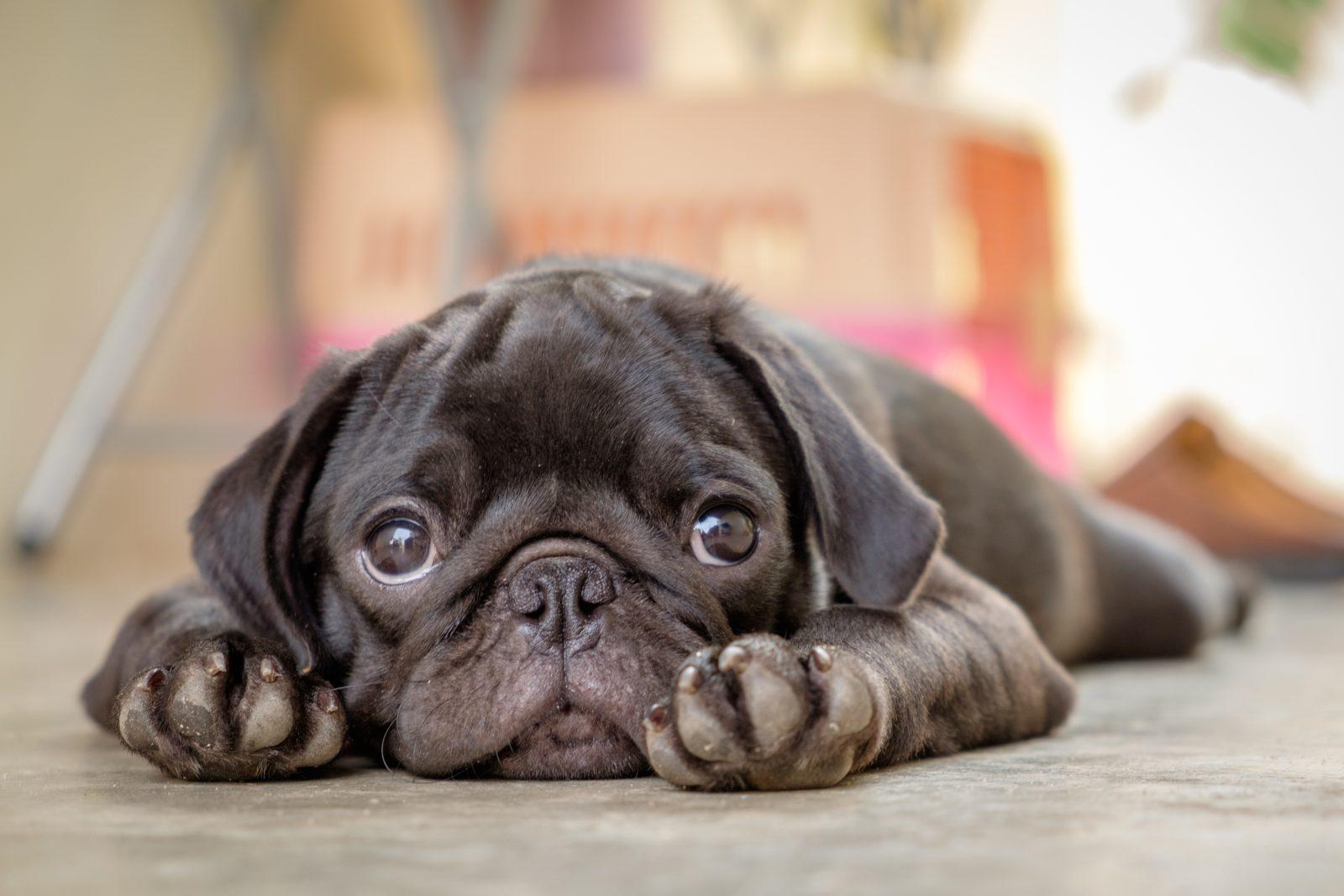 Existem muitas causas para o mau cheiro característico dos cachorros mais fedidos.