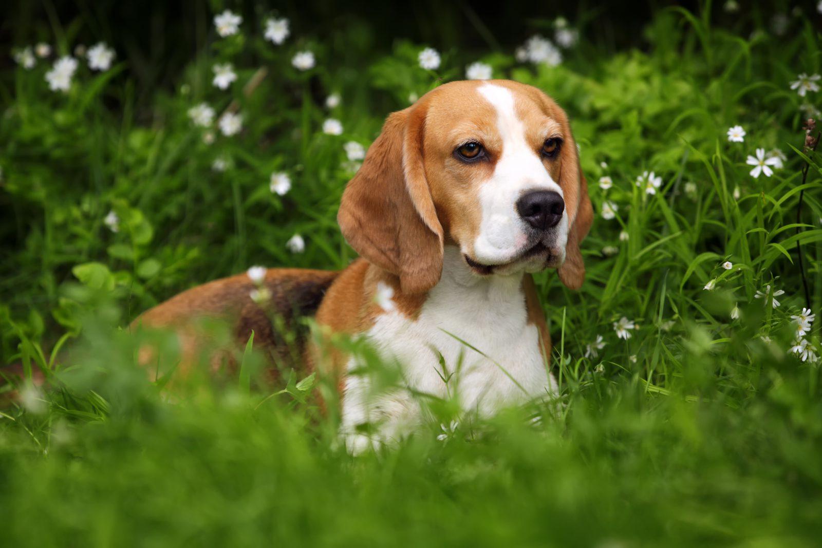 20 raças de cachorros pequenos de alta energia