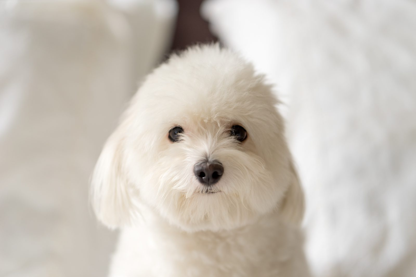Cachorros pequenos: oton de Tulear e sua pelagem fofinha e toda branca que dá vontade de agarrar.