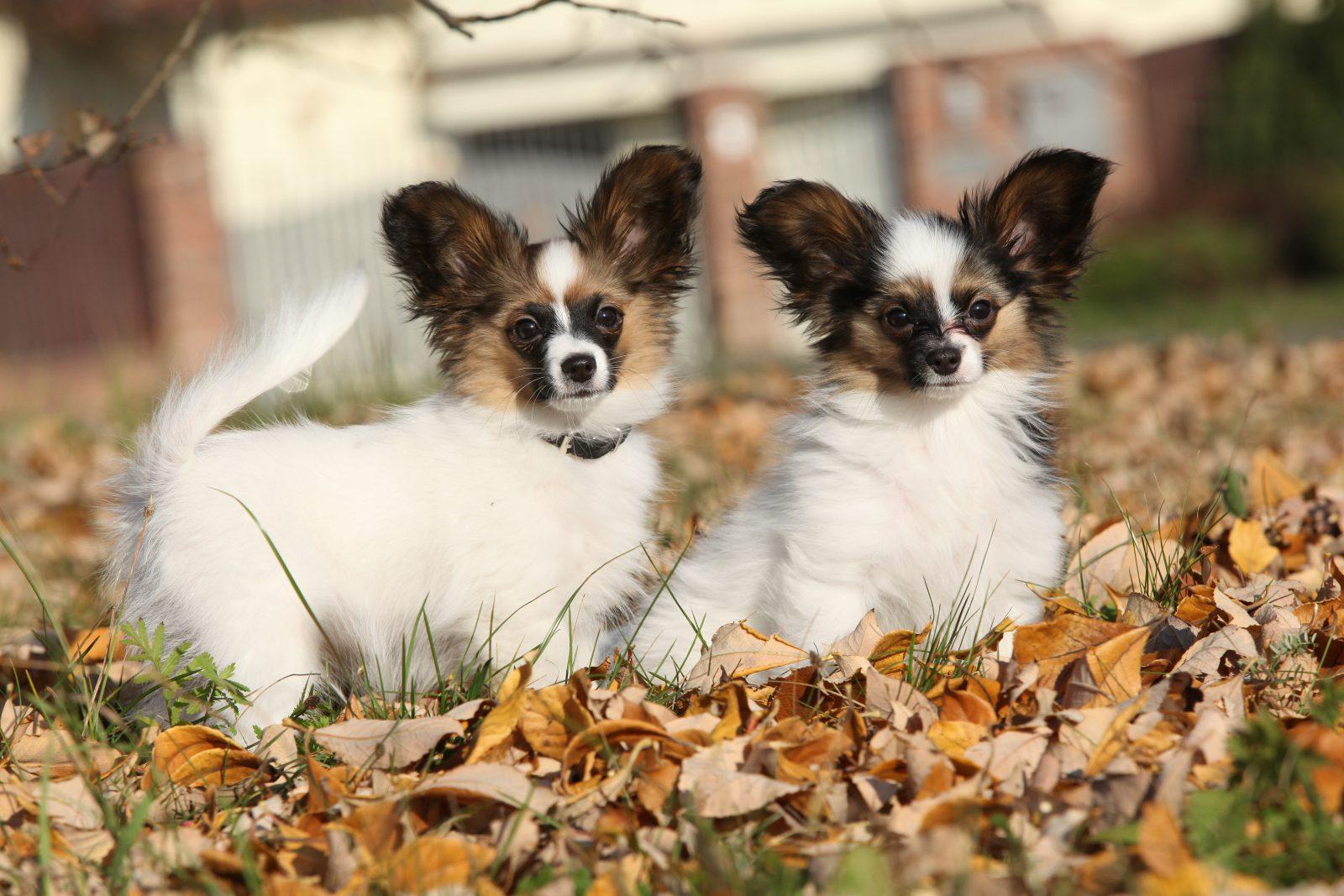 15 Melhores cachorros pequenos para quem nunca teve um cão