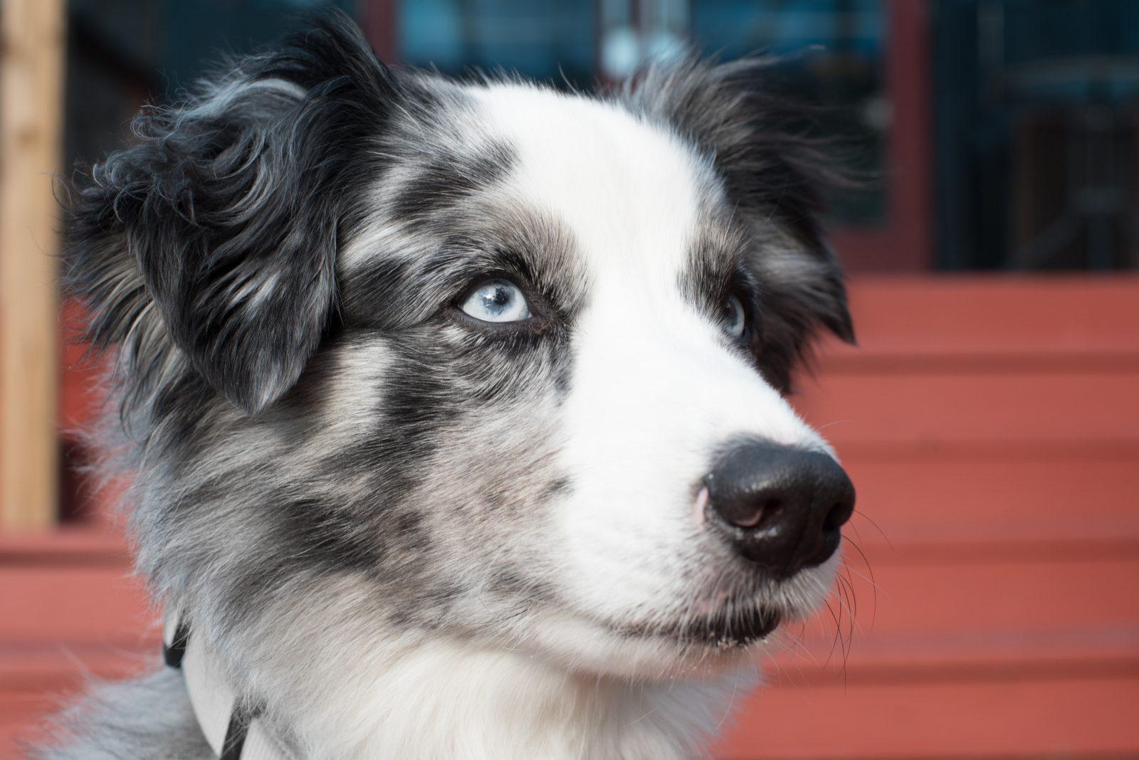 O que são Cachorros MERLE