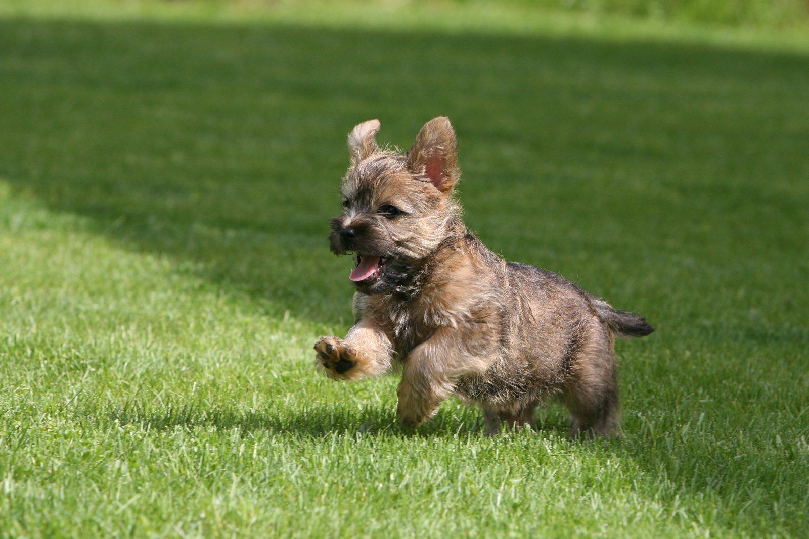 cao-cairn-terrier-treinamento