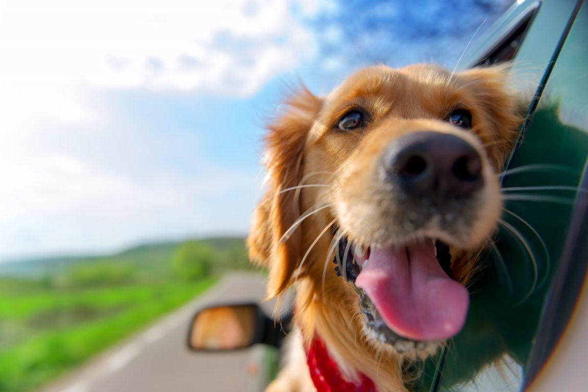Caixa de transporte para cachorro: golden retriever no carro com cabeça na janela pra fora