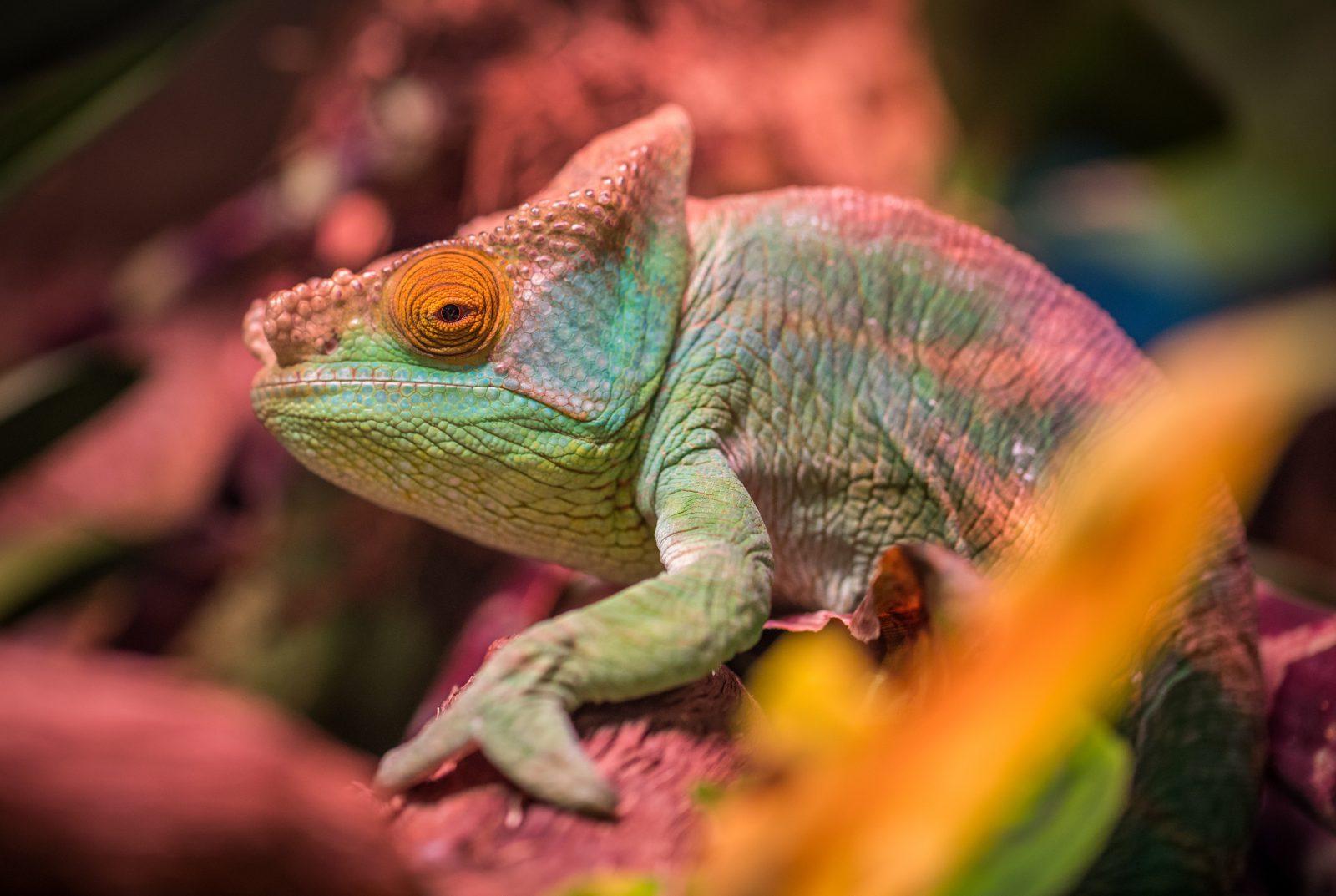 A maior parte das espécies de camaleão vive em Madagascar.