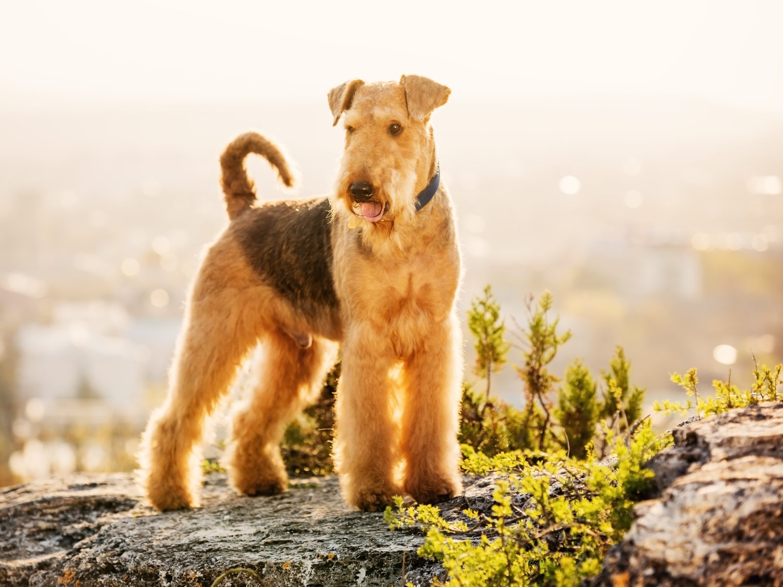 cao-airedale-terrier-atividades