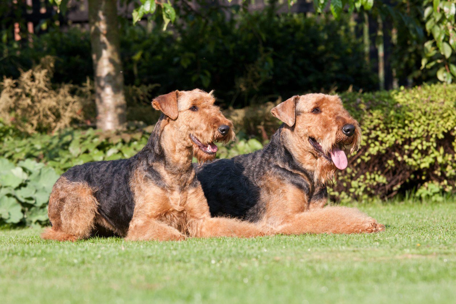 cao-airedale-terrier-origem
