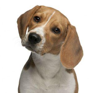 cao-beagle
