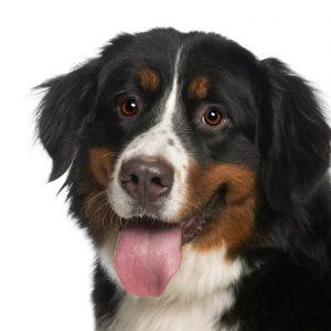 cão boiadeiro de berna