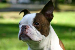 cao boston terrier