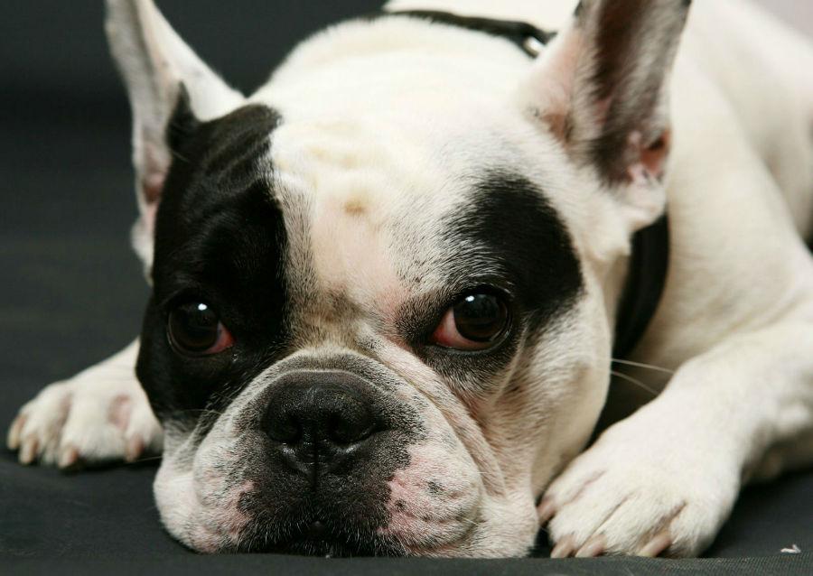 cachorro buldogue francês
