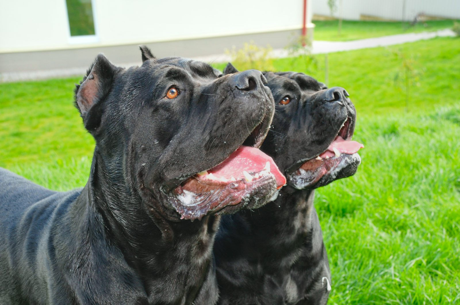 cao-cane-corso-italiano-treinamento