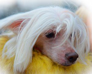 Cachorro feio: Cão de Crista Chinês