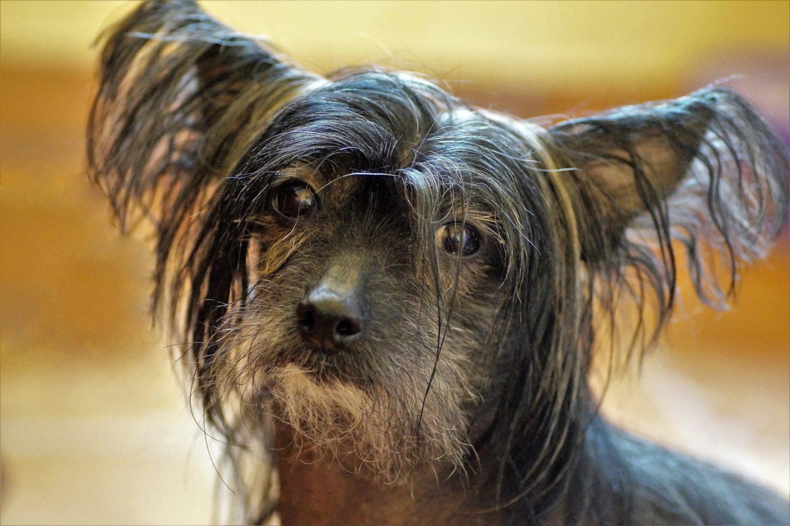 Cachoror feio: cão de crista chinês