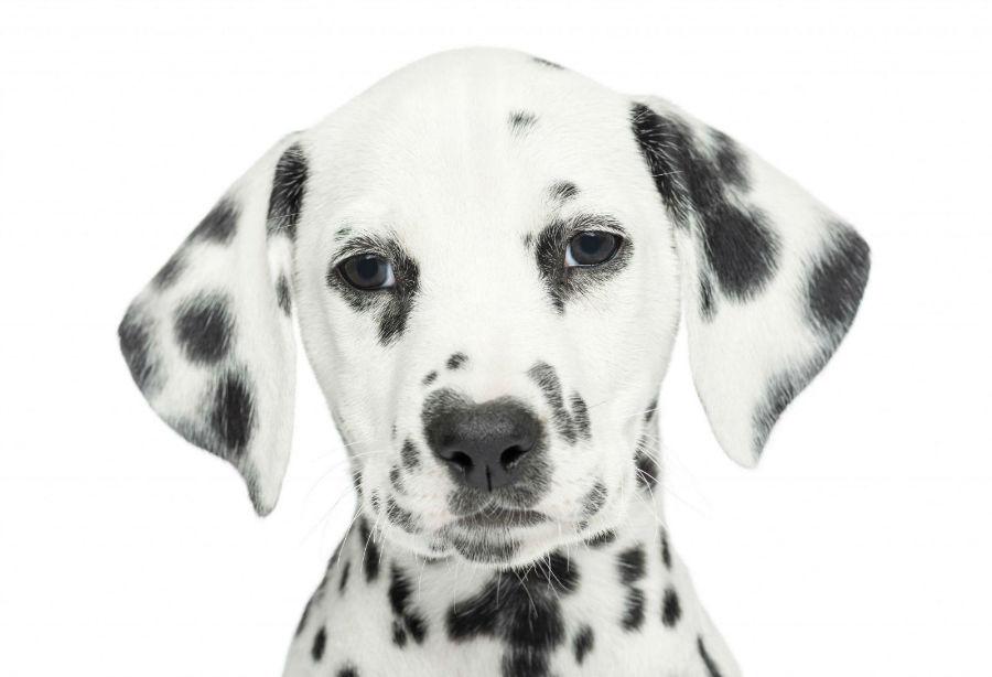 cachorro dámata