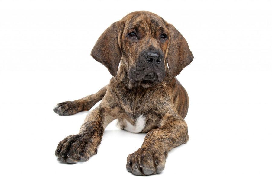 cachorro fila brasileiro