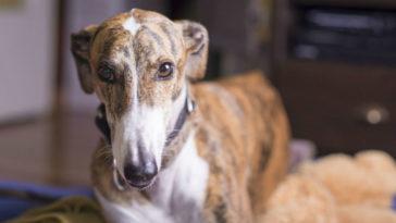 Greyhound Italiano
