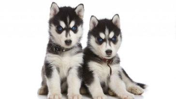 cachorro husky siberiano