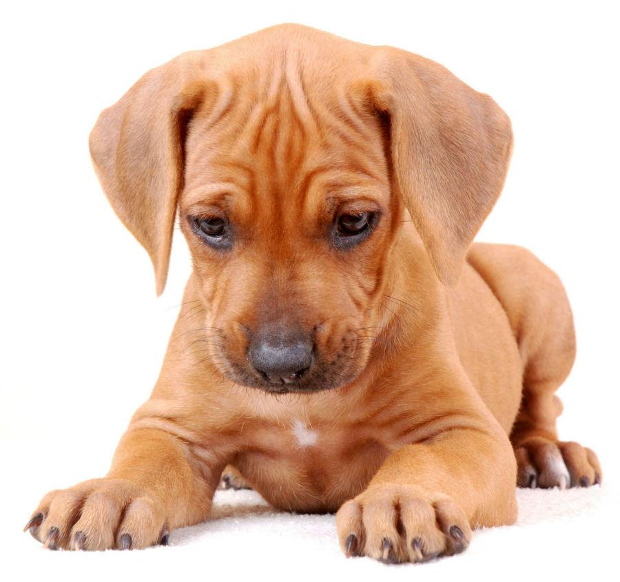 cachorro leao da rodesia
