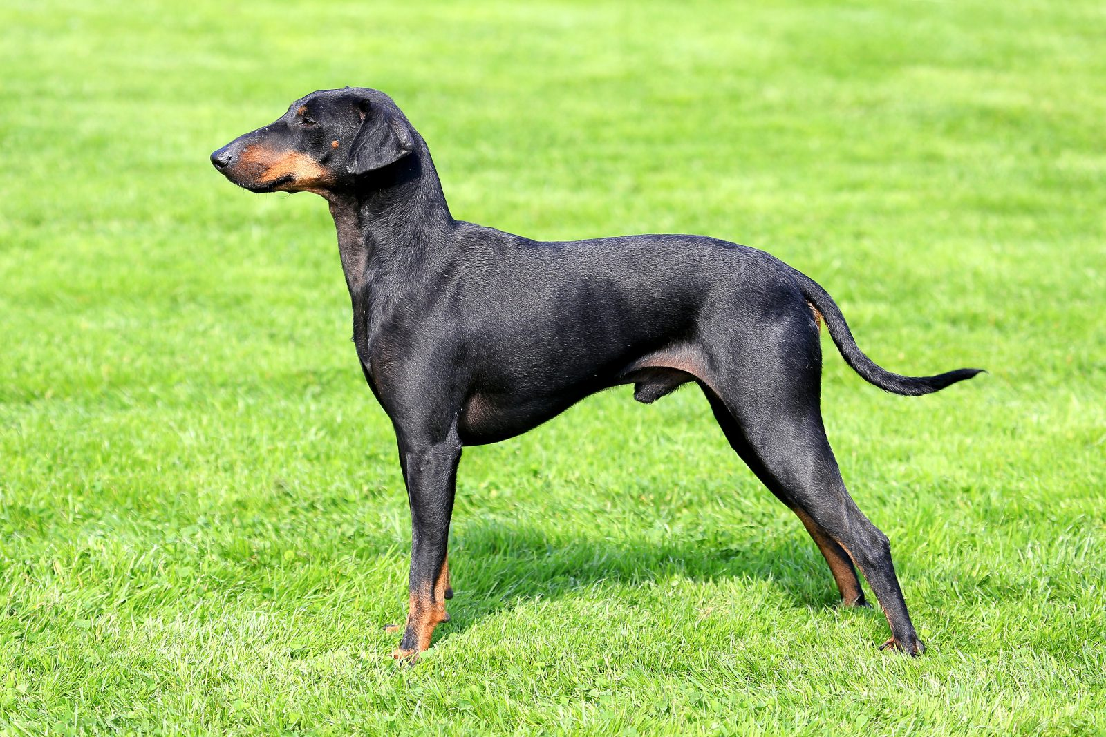 cao-manchester-terrier-aparencia