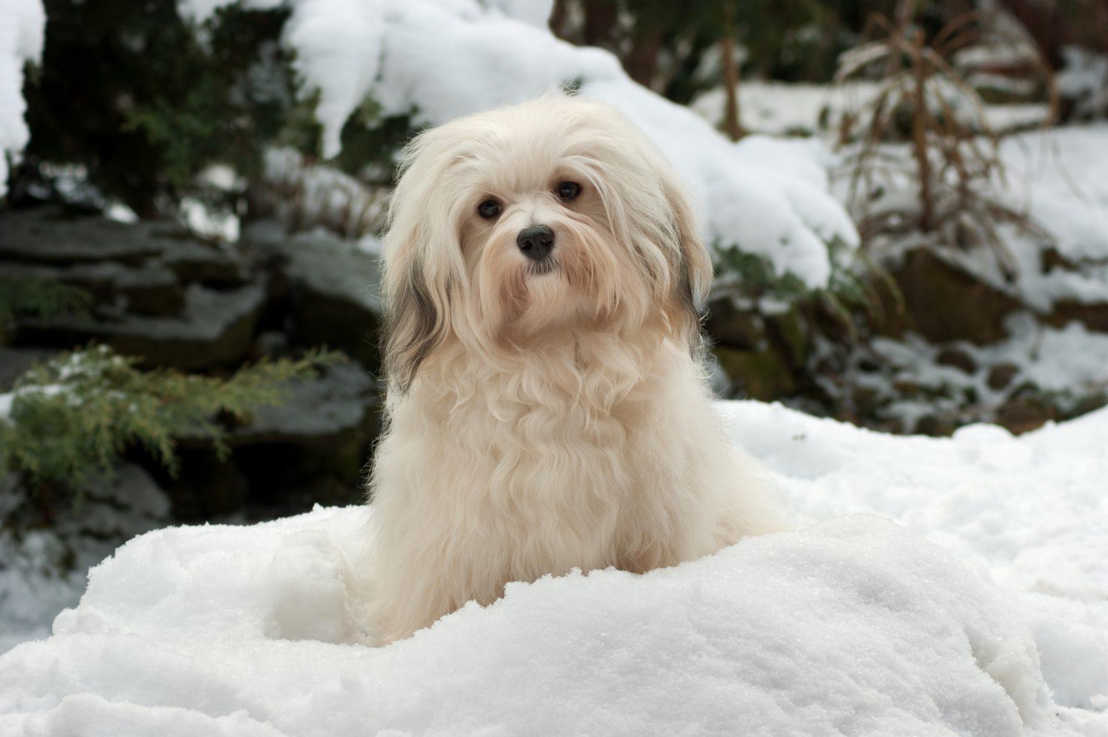 Cachorros pequenos: Havanês no meio da neve fofa.