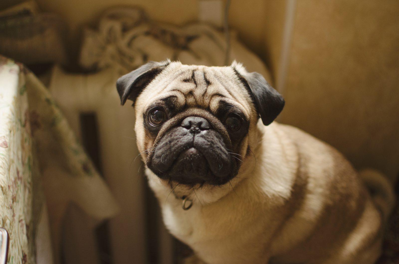 Cachorros pequenos: Pug e sua carinha fofa irresistível.