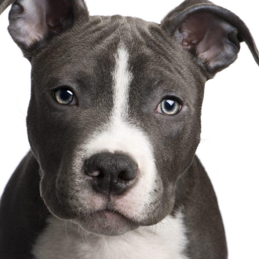 cao-staffordshire-terrier-americano