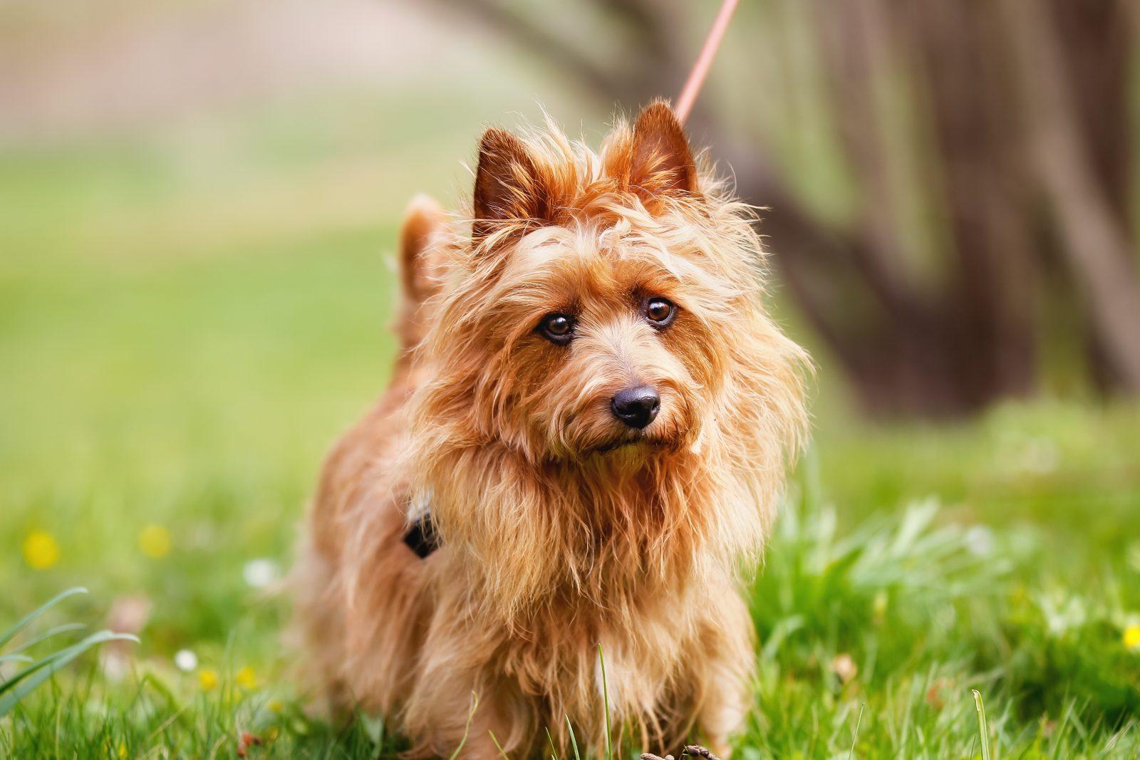 cao-terrier-australiano-origem